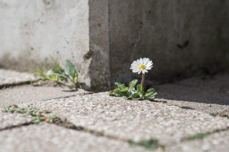 Einsames Gänseblümchen