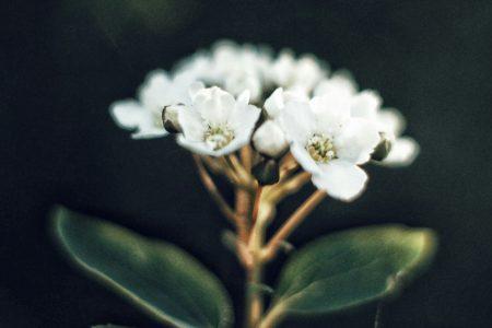 Blüten und zwei Blätter am Stängel