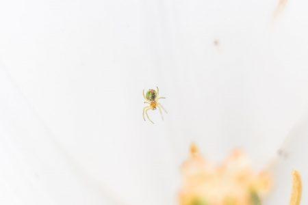 Arachnophiles Wesen